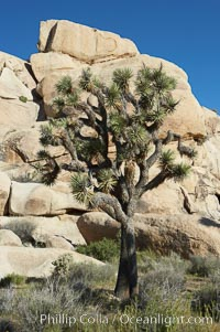 Image 12002, Joshua trees and strange rock formations characteristic of the Mojave desert region of Joshua Tree National Park. Joshua Tree National Park, California, USA, Yucca brevifolia