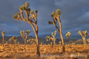 Sunrise in Joshua Tree National Park. Joshua Tree National Park, California, USA, Yucca brevifolia, natural history stock photograph, photo id 22101