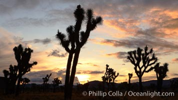 Sunrise in Joshua Tree National Park, storm clouds, Yucca brevifolia