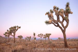 Joshua Trees in early morning light, Yucca brevifolia, Joshua Tree National Park