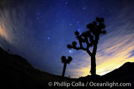 Stars shine in the night sky with Joshua Trees silhouetted in the foreground.  The lights of Palm Springs (right) and the town of Joshua Tree (left) glow on the horizon, Yucca brevifolia, Joshua Tree National Park, California