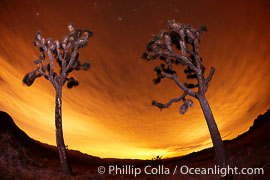 Two Joshua Trees stand in silhouette below evening skies with clouds lit by the distant lights of Palm Springs, Yucca brevifolia, Joshua Tree National Park, California