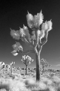 Joshua tree, sunrise, infrared. Joshua Tree National Park, California, USA, Yucca brevifolia, natural history stock photograph, photo id 22888