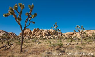 Joshua trees, a species of yucca common in the lower Colorado desert and upper Mojave desert ecosystems, Yucca brevifolia, Joshua Tree National Park, California