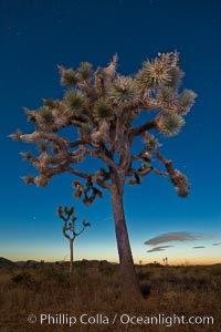 Joshua tree, moonlit night.  The Joshua Tree is a species of yucca common in the lower Colorado desert and upper Mojave desert ecosystems. Joshua Tree National Park, California, USA, Yucca brevifolia, natural history stock photograph, photo id 26756
