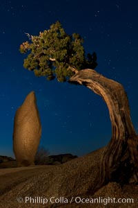 Juniper and stars, Joshua Tree National Park, California