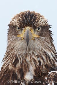 Juvenile bald eagle, second year coloration plumage, closeup of head and shoulders, looking directly at camera, snowflakes visible on feathers.    Immature coloration showing white speckling on feathers, Haliaeetus leucocephalus, Haliaeetus leucocephalus washingtoniensis, Kachemak Bay, Homer, Alaska