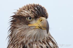 Juvenile bald eagle, second year coloration plumage, closeup of head, snowflakes visible on feathers.    Immature coloration showing white speckling on feathers, Haliaeetus leucocephalus, Haliaeetus leucocephalus washingtoniensis, Kachemak Bay, Homer, Alaska