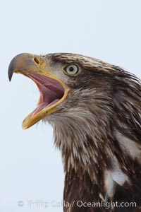 Juvenile bald eagle, calling vocalizing, side profile view, second year coloration plumage, closeup of head, snowflakes visible on feathers.    Immature coloration showing white speckling on feathers, Haliaeetus leucocephalus, Haliaeetus leucocephalus washingtoniensis, Kachemak Bay, Homer, Alaska