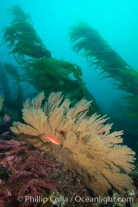 California golden gorgonian and small juvenile sheephead fishes on rocky reef, below kelp forest, underwater. The golden gorgonian is a filter-feeding temperate colonial species that lives on the rocky bottom at depths between 50 to 200 feet deep. Each individual polyp is a distinct animal, together they secrete calcium that forms the structure of the colony. Gorgonians are oriented at right angles to prevailing water currents to capture plankton drifting by, Semicossyphus pulcher, San Clemente Island