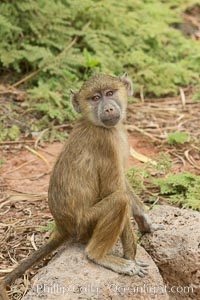 Juvenile Yellow Baboon, Amboseli National Park, Kenya. Amboseli National Park, Kenya, Papio cynocephalus, natural history stock photograph, photo id 29585