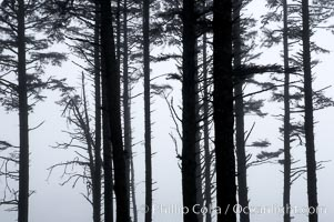 Morning mist shrouds trees, Kalaloch, Olympic National Park, Washington