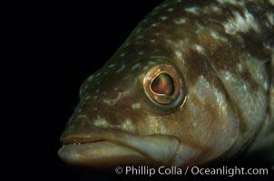 Kelp bass (calico bass), Paralabrax clathratus, San Clemente Island