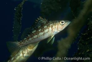 Juvenile kelp bass (calico bass) hiding amidst kelp fronds, Paralabrax clathratus, San Clemente Island