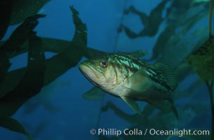 Kelp bass (calico bass) hovers amidst fronds in the kelp forest, waiting to pounce on smaller fish, Paralabrax clathratus, San Clemente Island