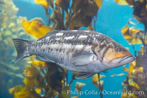Kelp bass (calico bass) hovering amidst kelp fronds, Paralabrax clathratus