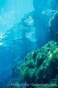 Kelp covered wall of Church Rock, Guadalupe Island (Isla Guadalupe)