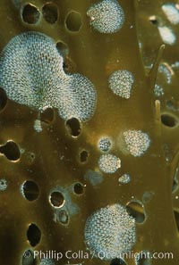 Kelp encrusting bryozoan on giant kelp, Membranipora, Macrocystis pyrifera