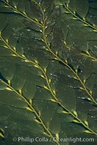 Kelp fronds reach the surface and spread out to form a canopy, Macrocystis pyrifera, San Clemente Island