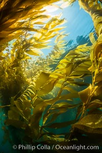 The Kelp Forest offshore of La Jolla, California. A kelp forest. Giant kelp grows rapidly, up to 2' per day, from the rocky reef on the ocean bottom to which it is anchored, toward the ocean surface where it spreads to form a thick canopy. Myriad species of fishes, mammals and invertebrates form a rich community in the kelp forest. Lush forests of kelp are found throughout California's Southern Channel Islands, Macrocystis pyrifera