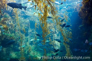 The kelp forest tank in the Stephen Birch Aquarium at the Scripps Institution of Oceanography.  The 70000 gallon tank is home to black seabass, broomtail grouper, garibaldi, moray eels and leopard sharks, La Jolla, California