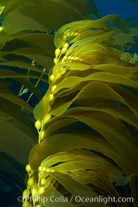 Kelp fronds and pneumatocysts.  Pneumatocysts, gas-filled bladders, float the kelp plant off the ocean bottom toward the surface and sunlight, where the leaf-like blades and stipes of the kelp plant grow fastest.  Giant kelp can grow up to 2' in a single day given optimal conditions.  Epic submarine forests of kelp grow throughout California's Southern Channel Islands, Macrocystis pyrifera, San Clemente Island
