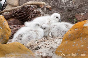 Kelp goose chicks, nestled on sand between rocks.  The kelp goose is noted for eating only seaweed, primarily of the genus ulva.  It inhabits rocky coastline habitats where it forages for kelp, Chloephaga hybrida, Chloephaga hybrida malvinarum, New Island