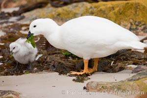 Kelp goose eating kelp, chick and adult male showing entirely white plumage.  The kelp goose is noted for eating only seaweed, primarily of the genus ulva.  It inhabits rocky coastline habitats where it forages for kelp, Chloephaga hybrida, Chloephaga hybrida malvinarum, New Island