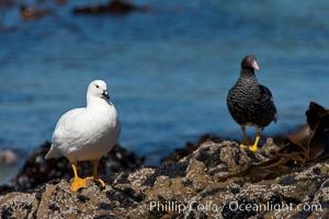 Kelp goose, male (white) and female, Chloephaga hybrida, Carcass Island