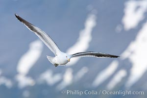 Kelp gull in flight, Andean mountains above Ushuaia in the background, Larus dominicanus, Beagle Channel