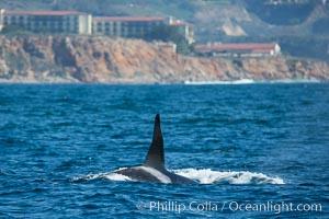 Killer Whale, Biggs Transient Orca, Palos Verdes, Orcinus orca