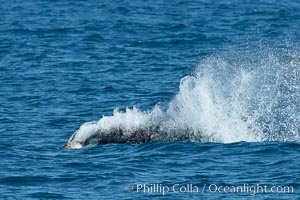 Killer whale attacking sea lion.  Biggs transient orca and California sea lion. Palos Verdes, California, USA, Orcinus orca, Zalophus californianus, natural history stock photograph, photo id 30425