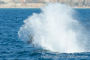 Killer whale attacking sea lion.  Biggs transient orca and California sea lion. Palos Verdes, California, USA, Orcinus orca, Zalophus californianus, natural history stock photograph, photo id 30426