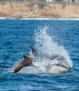 Killer whale attacking sea lion.  Biggs transient orca and California sea lion. Palos Verdes, California, USA, Orcinus orca, Zalophus californianus, natural history stock photograph, photo id 30429