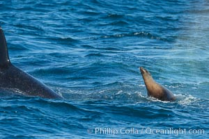 Killer whale attacking sea lion.  Biggs transient orca and California sea lion, Orcinus orca, Zalophus californianus, Palos Verdes