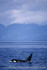 Killer whale (orca). Frederick Sound, Alaska, USA, Orcinus orca, natural history stock photograph, photo id 04405