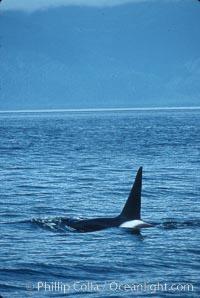 Killer whale (orca), Orcinus orca, Frederick Sound