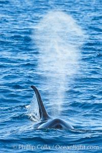 Killer Whale and blow, Biggs Transient Orcas, Palos Verdes, Orcinus orca
