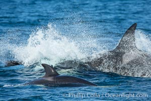 Killer Whales, Biggs Transient Orcas, Palos Verdes. Palos Verdes, California, USA, natural history stock photograph, photo id 30439