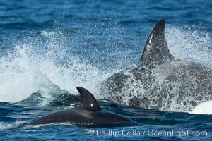 Killer Whales, Biggs Transient Orcas, Palos Verdes. Palos Verdes, California, USA, natural history stock photograph, photo id 30440
