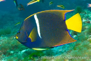 King angelfish in the Sea of Cortez, Mexico. Sea of Cortez, Baja California, Mexico, Holacanthus passer, natural history stock photograph, photo id 27475