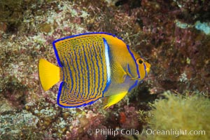 King Angelfish, Sea of Cortez,, Isla San Diego, Baja California, Mexico