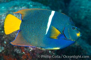 King Angelfish, Sea of Cortez, Baja California. Isla San Diego, Baja California, Mexico, natural history stock photograph, photo id 33533