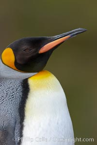 King penguin, showing ornate and distinctive neck, breast and head plumage and orange beak. Fortuna Bay, South Georgia Island, Aptenodytes patagonicus, natural history stock photograph, photo id 24599