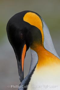 King penguin, showing ornate and distinctive neck, breast and head plumage and orange beak, Aptenodytes patagonicus, Fortuna Bay
