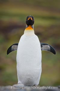 King penguin, solitary, standing, Aptenodytes patagonicus, Fortuna Bay