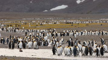 King penguin colony, Right Whale Bay, South Georgia Island.  Over 100,000 pairs of king penguins nest on South Georgia Island each summer. Right Whale Bay, South Georgia Island, Aptenodytes patagonicus, natural history stock photograph, photo id 24316