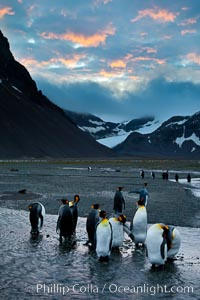 King penguin colony, Right Whale Bay, South Georgia Island.  Over 100,000 pairs of king penguins nest on South Georgia Island each summer, Aptenodytes patagonicus