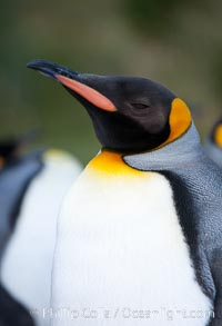 King penguin, showing ornate and distinctive neck, breast and head plumage and orange beak, Aptenodytes patagonicus, Grytviken