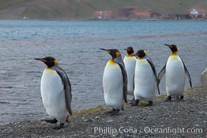 King penguins march in a line along the shore, Aptenodytes patagonicus, Grytviken